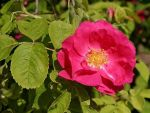 The Rose Garden and Provins's Rose